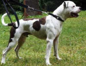 Breed Standard ABEU – American Bulldog EU